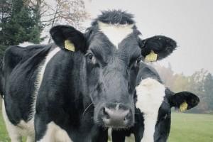 ฝันเห็นวัว