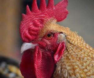 ฝันเห็นไก่ ฝันว่าจับไก่ ผลคำทำนายฝัน