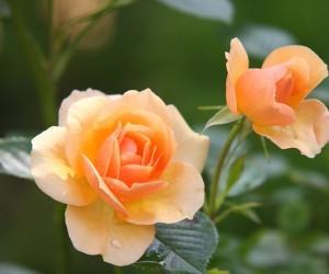 ฝันเห็นดอกไม้