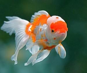 ฝันเห็นปลาทอง