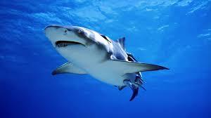 ฝันเห็นปลาฉลาม