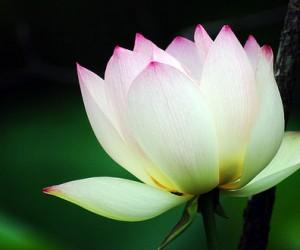 ฝันเห็นดอกบัว สีขาวสะอาด ผลคำทำนายฝัน