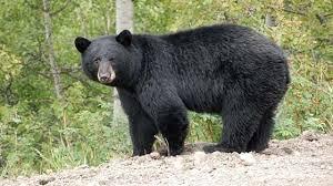 ฝันเห็นหมีควาย หลายตัว ผลคำทำนายฝัน