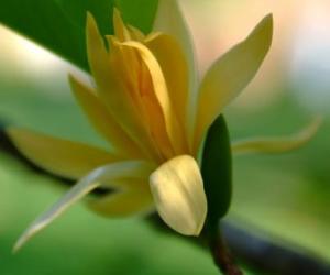 ฝันเห็นดอกจำปา จำปี ฝันว่าเก็บดอกจำปา จำปี  ผลคำทำนายฝัน